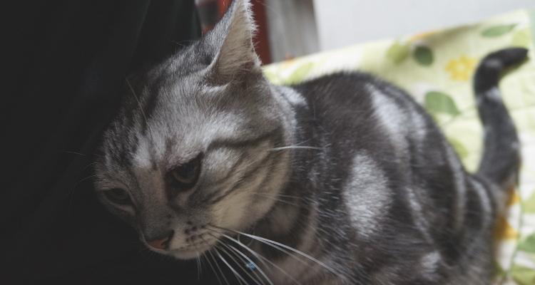 猫 高齢 アメリカンショートヘア