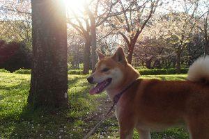 遊び盛りの柴犬の運動・散歩代行